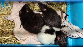 Petite annonce Hamsters - Rats - Souris - photo no. 1