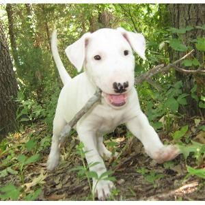 Chiots types Bull Terrier