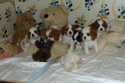 Magnifiques chiots type cavalier king charles