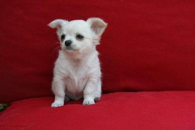 Petite femelle type chihuahua non lof disponible
