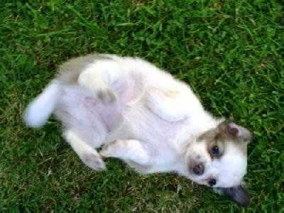 Petite femelle type chihuahua non lof a donner