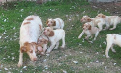 Chiots Type Epagneuls Bretons rouennais non Lof