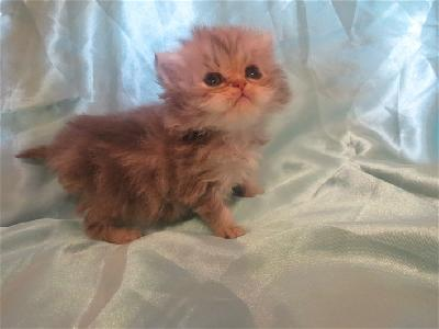 Adorable chaton persan femelle blue golden Loof