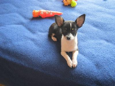 Offre Chiot chihuahua femelle