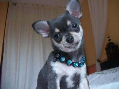 Chiots type chihuahua poils court disponible de suite