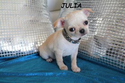 Magnifique Chiot Chihuahua Femelle A Donner