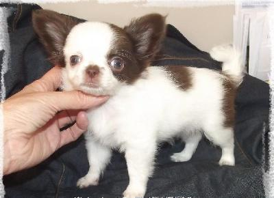 Adorable Chihuahua femelle a donner
