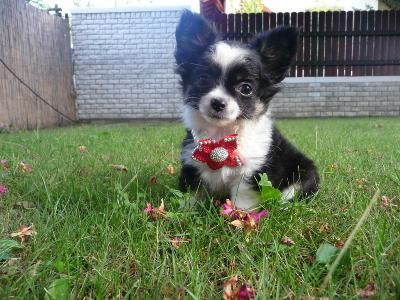Adorable chiot Chihuahua femelle poils longs