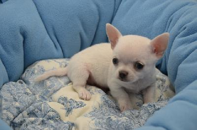 A Donner Chiot Type Chihuahua Femelle