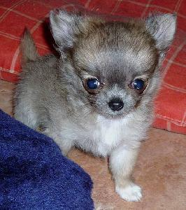 Chiot Femelle Type Chihuahua Poil Long Non Lof