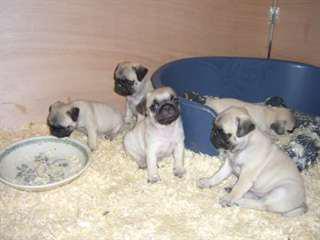 Chiots Carlins Pug A Donner