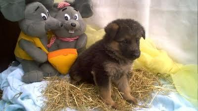 A donner 1 chiot male Berger allemand poils courts non lof