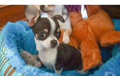 Chiot chihuahua femelle donner