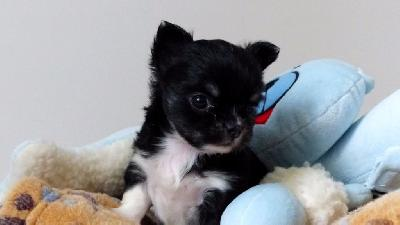 A DONNER  Agréable Chiot chihuahua non lof