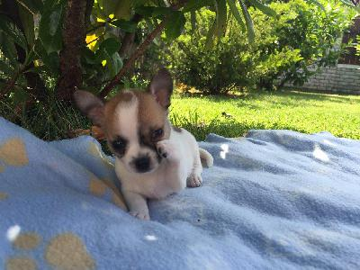Adorable chiot chihuahua femelle