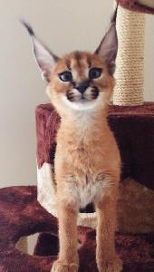 Disponible F1, F2 savannah et serval ,  caracal et Ocelot chatons