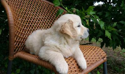 Adorable Chiot Golden Retriever Femelle A Donner
