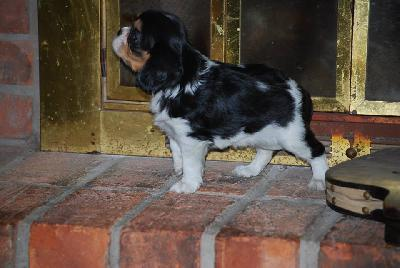 Chiots cavalier king charles
