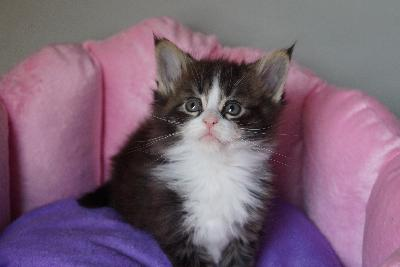 Cins chatons maine coon