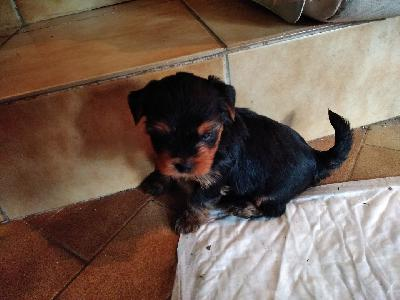 Adorables chiots Yorkshire Terrier LOF Toy
