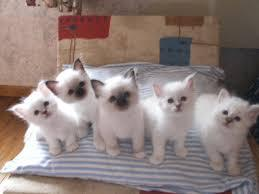 Chatons Type Sacre De Birmanie
