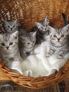 Quatre adorable chatons British Shorthair