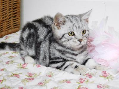 Magnifiques chatons type British Shorthair
