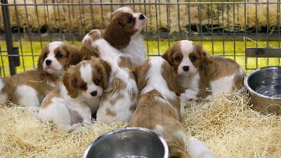 Photo petite annonce Chiots cavalier king charles lof