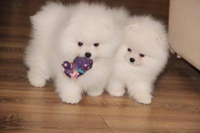 Photo petite annonce CHIOTS SPITZ NAIN LOF