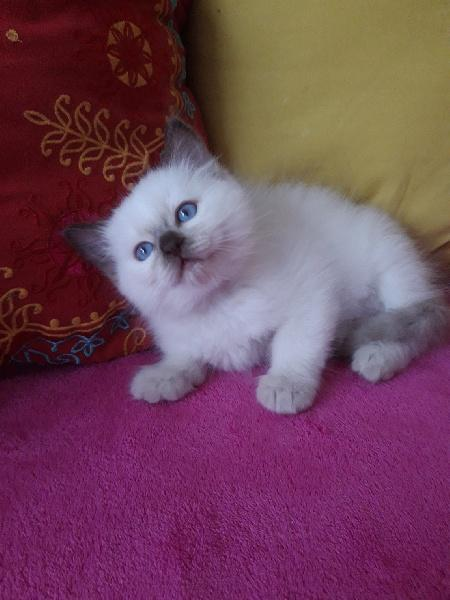Magnifiques chatons type Ragdoll loof