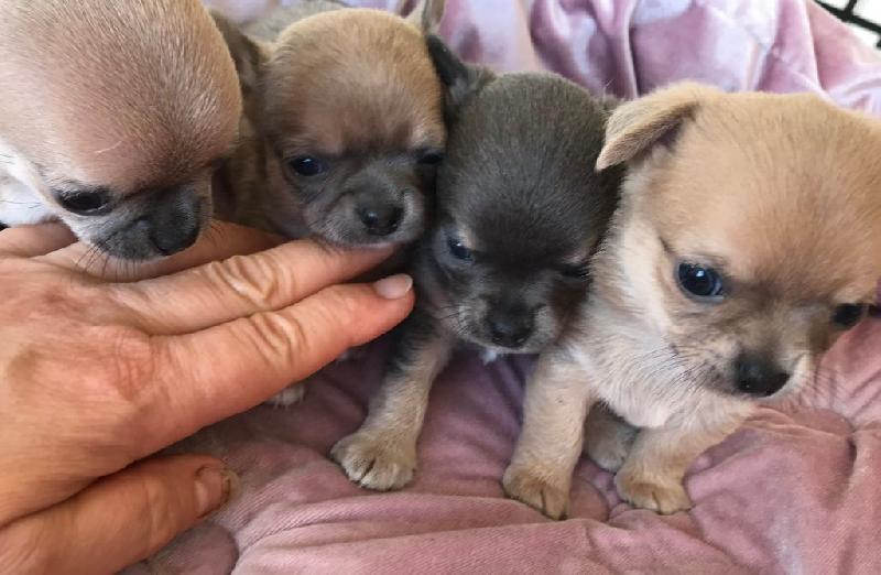 Superbes Chiots Chihuahua Pure Race Poils Courts Taille Standard