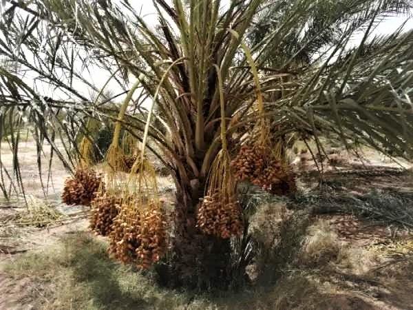 Grande plantation de palmiers dattiers